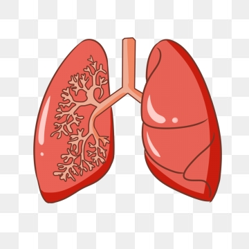 Lungs PNG Images.