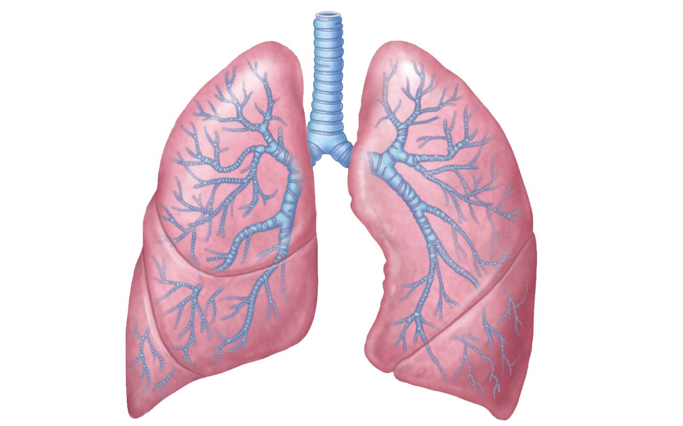 Lungs PNG Transparent Images.