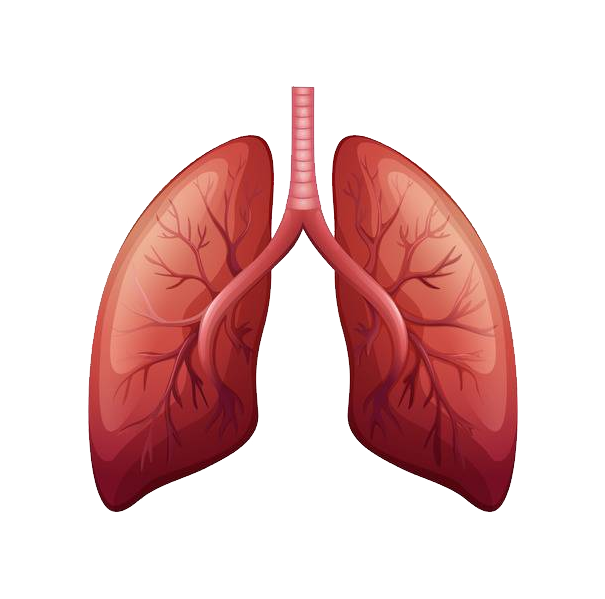 Download Free png Lungs PNG, Download PNG image with.