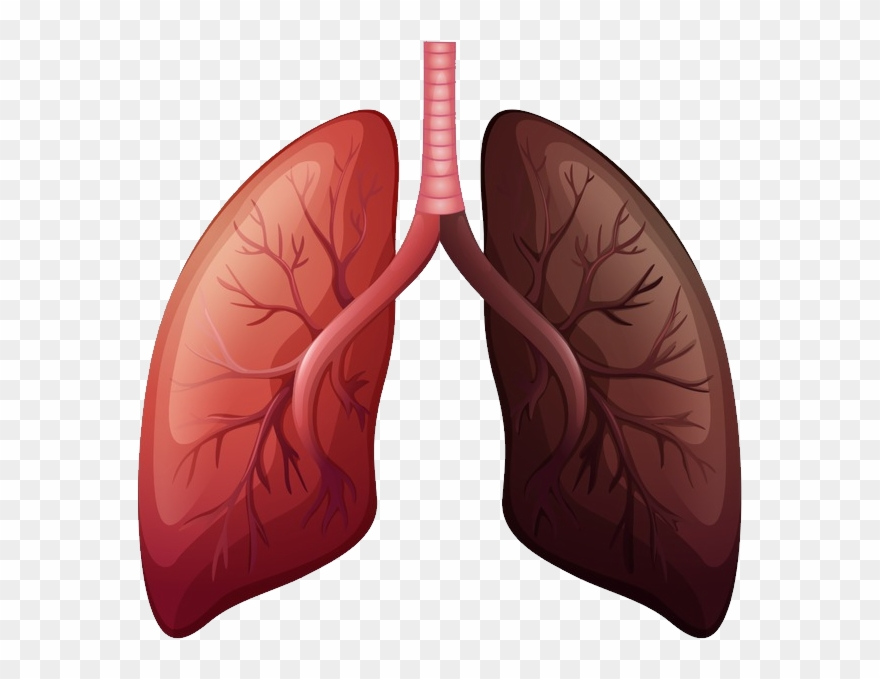 Lungs Png.