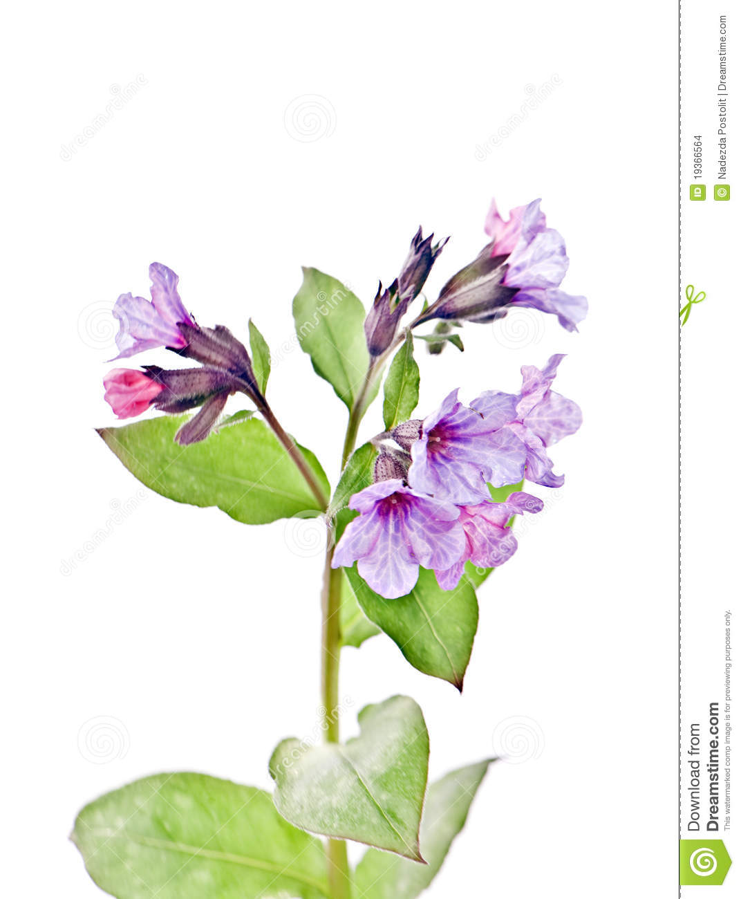 Lungwort, Pulmonaria Officinalis L., Stock Images.