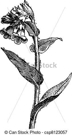Vectors Illustration of Pulmonaria spotted or lungwort, vintage.