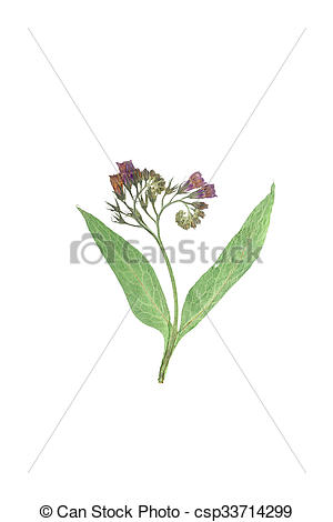 Stock Photographs of Pressed and dried flowers pulmonaria or.