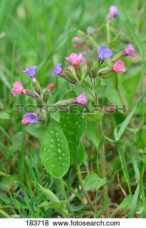 Pictures of Lungwort (Pulmonaria mollis), flowering plants.