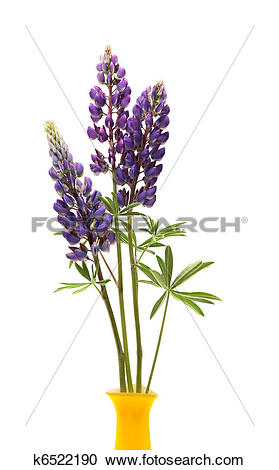 Stock Photography of Lupin Flowers In Vase k6522190.