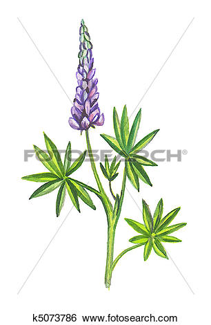 Stock Illustration of Lupins or lupines k5073786.