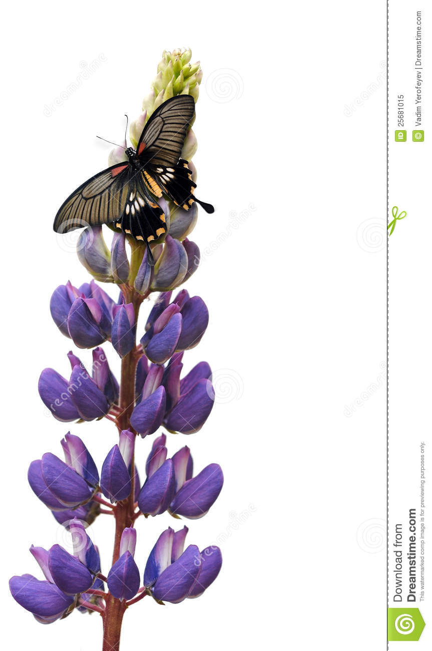 Butterfly On Lupin Flower Royalty Free Stock Photo.
