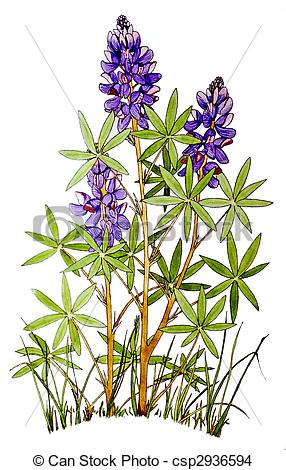 Drawing of Lupine.