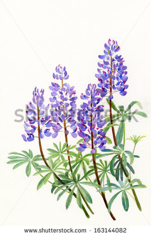 Lupine Flowers Stock Images, Royalty.