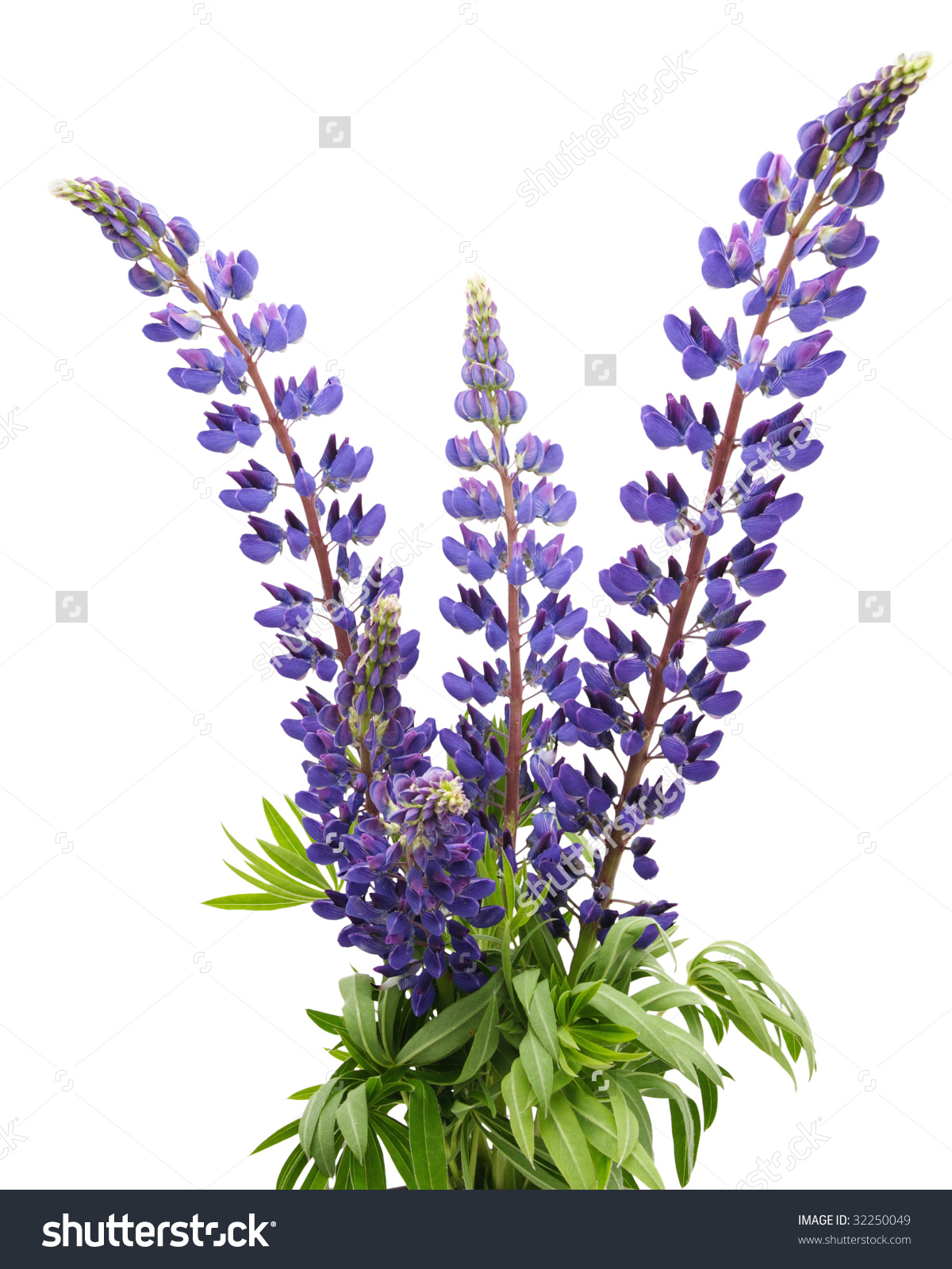 lupines clipart clipground