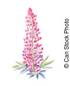 Lupine Illustrations and Clip Art. 91 Lupine royalty free.