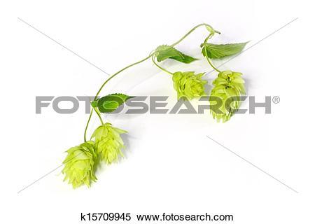 Stock Image of Humulus lupulus k15709945.