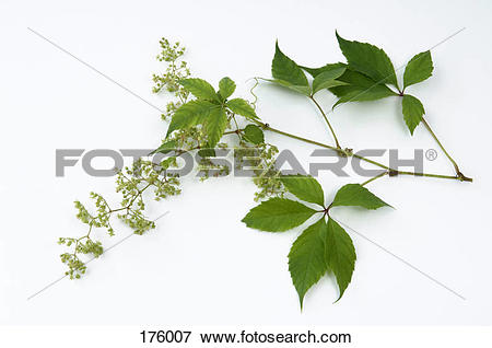 Picture of Common Hop (Humulus lupulus), male plant, flowering.