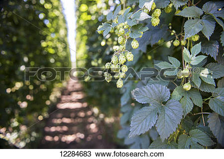 Stock Photo of Production of hops (Humulus lupulus) for beer.