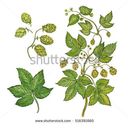 Scientific Drawings Plants Stock Photos, Royalty.