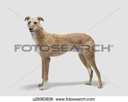 Stock Images of Portrait of a lurcher u28363836.