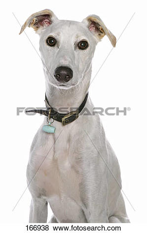 Pictures of half breed dog (lurcher).