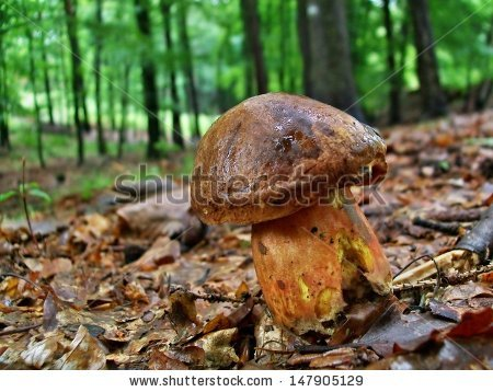 Boletus Luridiformis Stock Photos, Royalty.