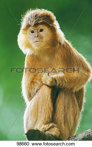 Stock Photography of Lutung.