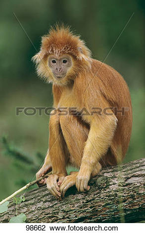 Stock Photo of Lutung.