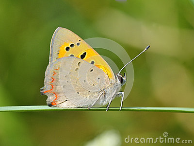 Butterfly In Natural Habitat (Lycaena Dispar) Royalty Free Stock.