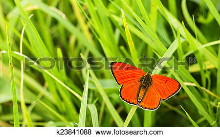 Pictures of Butterfly Large copper (Lycaena dispar) on green grass.