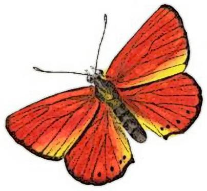 Large Copper male Lycaena dispar.