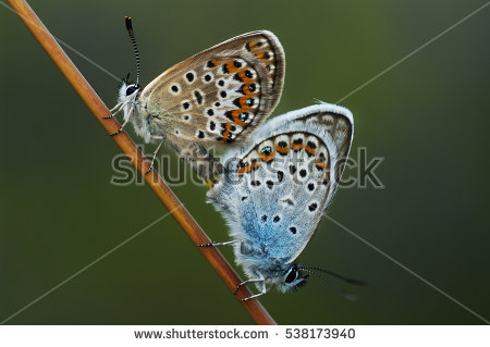 Lycaenidae Stock Photos, Royalty.