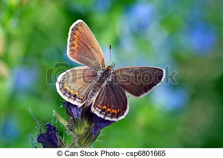 Stock Images of butterfly (lycaenidae) on wild flower csp6801665.