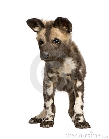 African Wild Dog Cub (9 Weeks).