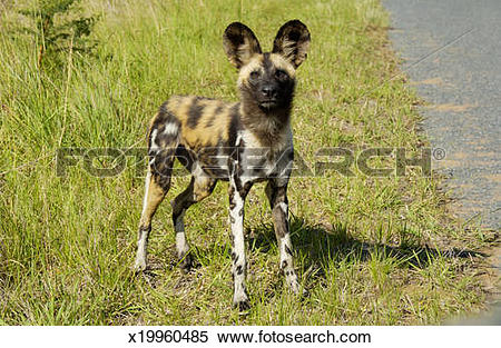 Stock Image of African wild dog, Lycaon pictus x19960485.