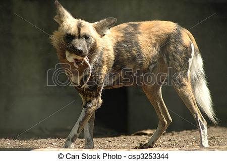 Stock Photo of African wild dog (Lycaon pictus).