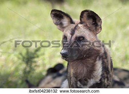 Stock Photo of African wild dog or African painted dog (Lycaon.