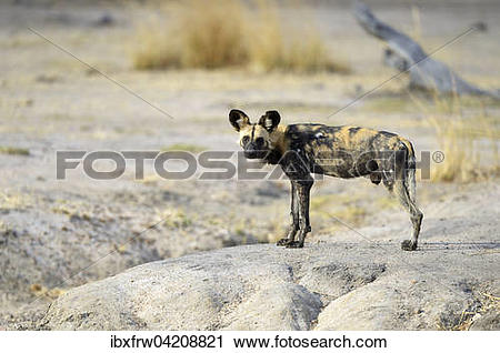 Stock Photography of African Wild Dog (Lycaon pictus), male.