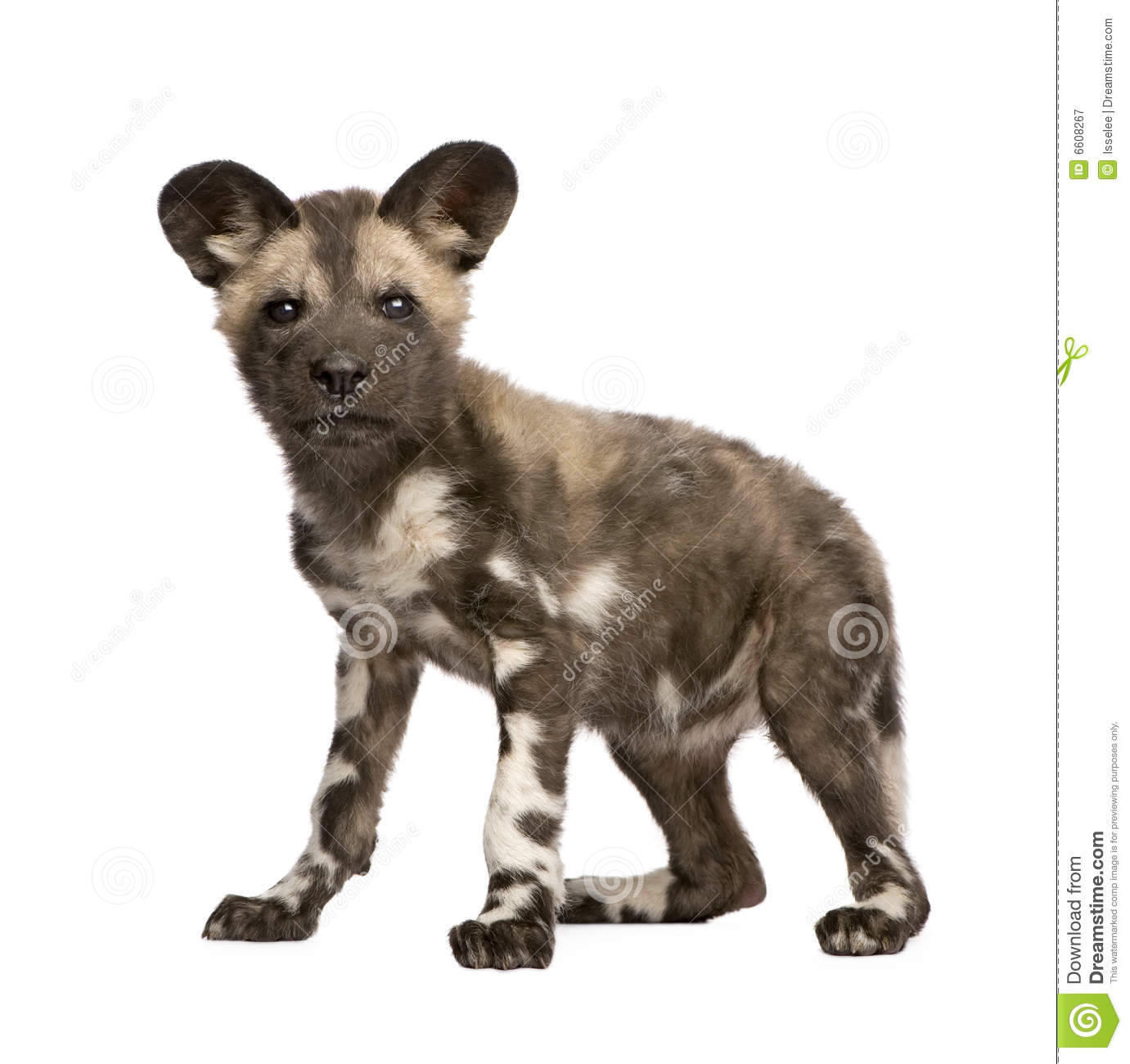 African Wild Dog (Lycaon Pictus) Royalty Free Stock Image.