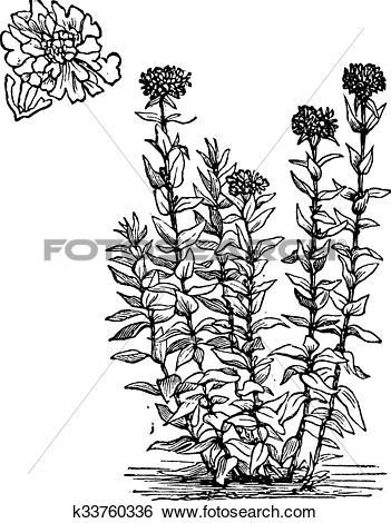 Clip Art of Jerusalem Cross flower or Lychnis chalcedonica vintage.