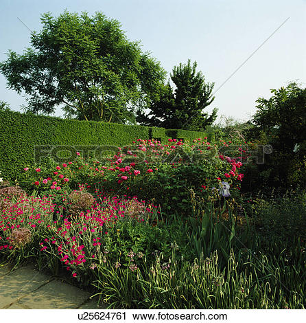 Stock Photography of Pink roses and lychnis in country summer.