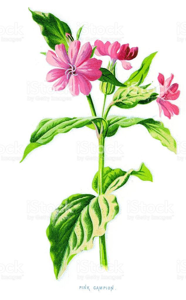 Pink Campion Lychnis Diurna stock vector art 174691791.