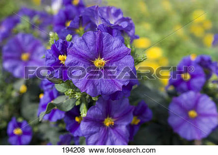 Pictures of Paraguay Nightshade, Blue Potato Bush, Blue Potato.