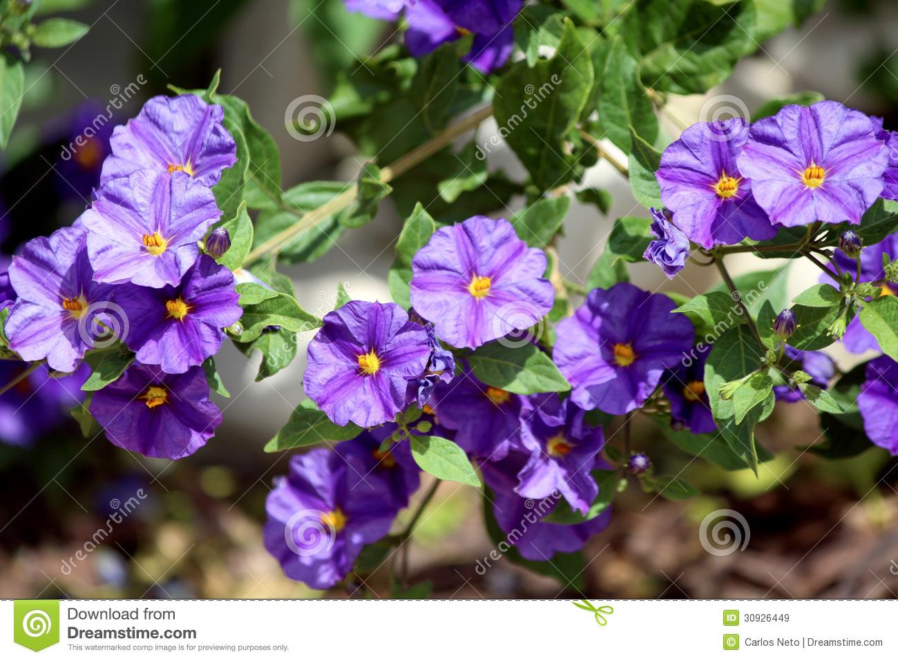 Solanum Rantonnetii (Species: Lycianthes Rantonnetii), Flowerin.