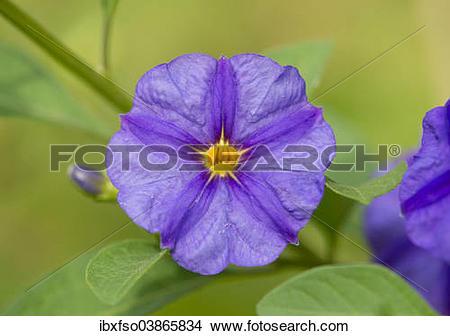 "Stock Photo of ""Blue Potato Bush (Lycianthes rantonnetii."