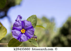 Lycianthes rantonnetii Stock Photo Images. 22 lycianthes.