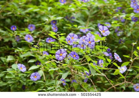 Lycianthes Stock Photos, Royalty.