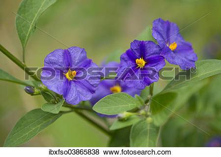 """Pictures of """"Blue Potato Bush (Lycianthes rantonnetii), flowering."""