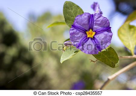 Stock Images of Solanum rantonnetii (Species: Lycianthes.