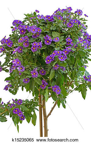 Stock Image of Lycianthes rantonnetii or blue potato bush.