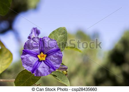 Stock Image of Solanum rantonnetii (Species: Lycianthes.