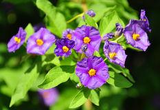 Lycianthes Rantonnetii Or Blue Potato Bush Stock Images.