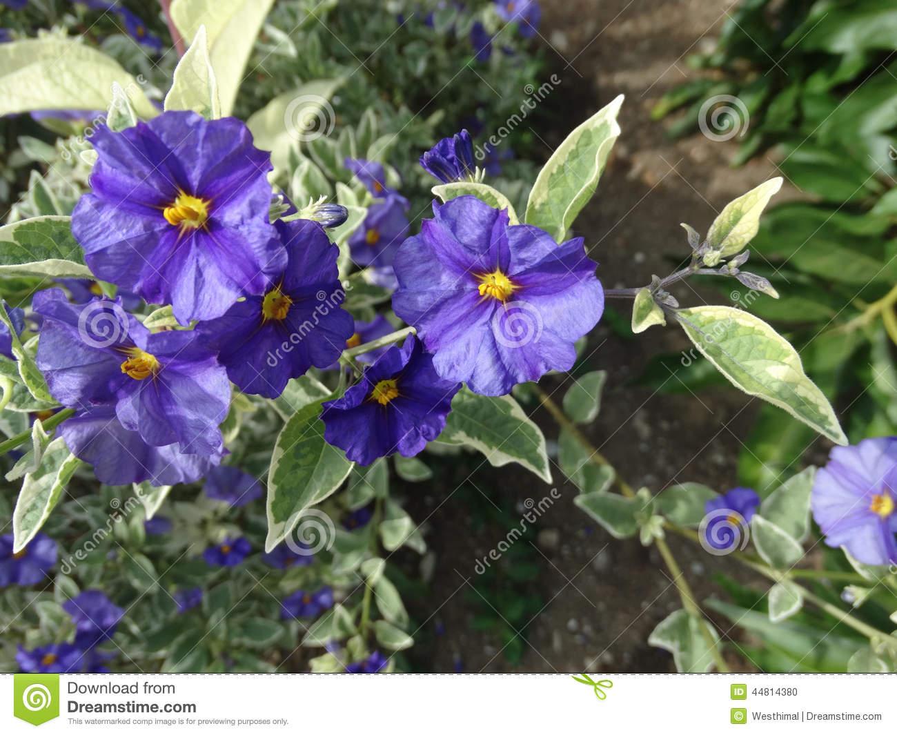Lycianthes Rantonnetii 'Variegata', Blue Potato Bush 'Royal Robe.
