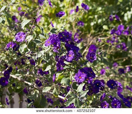 Blue Potato Bush Stock Photos, Royalty.